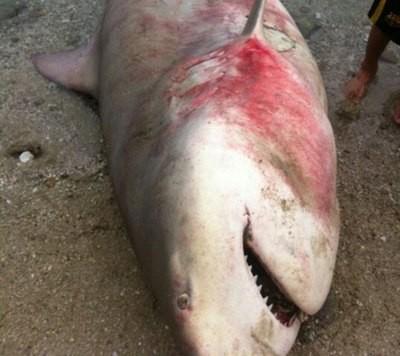 Cá mập xuất hiện hàng loạt  tại biển Khánh Hòa