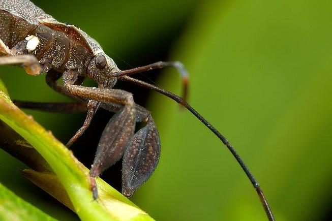 Ăn bọ xít, 1 người tử vong, hơn 20 người cấp cứu