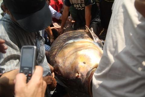 Đằng sau câu chuyện bắt được cá hô 'khủng'