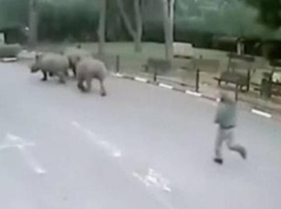 Tê giác 'vượt ngục' khi nhân viên bảo vệ sở thú ngủ gật