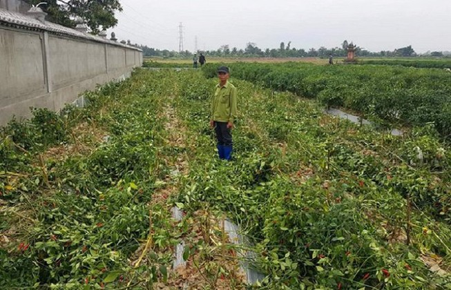 Hải Phòng: Ruộng ớt 1 nông dân chống tiêu cực bị phá tanh bành