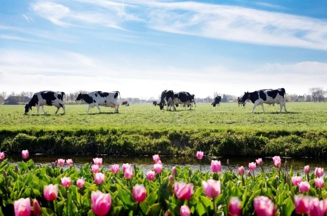 Nông dân Hà Lan: 7 đời người gắn bó với nông trang bò