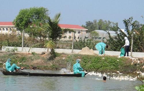 Tây Ninh: Tiêu hủy hai ổ dịch cúm gia cầm
