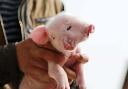 Lợn 2 đầu, 3 mắt chào đời ở Trung Quốc