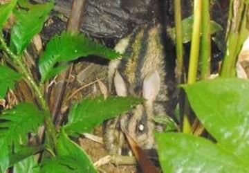 Bất ngờ phát hiện thỏ vằn cổ quý hiếm ở Huế