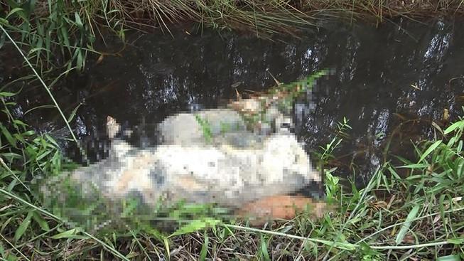 Nhiều con heo chết, thối rữa vứt trong rừng tràm ở ven TP.HCM