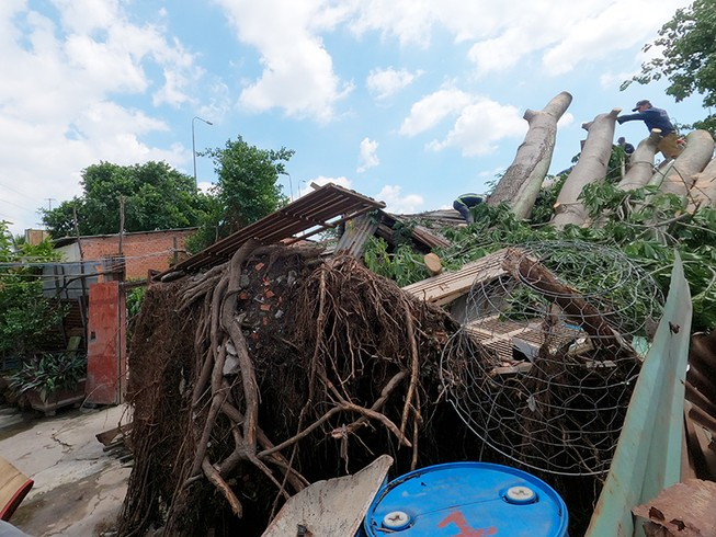 Quận 6: Cây gòn hơn 50 tuổi đổ sập, hai gia đình thoát chết