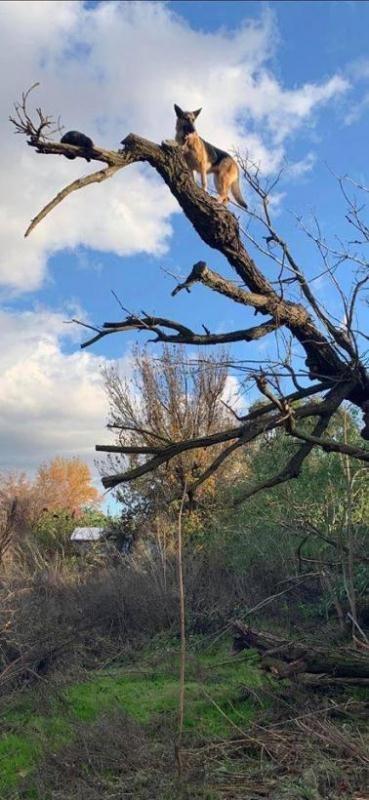 Lính cứu hỏa giải cứu... chó cheo leo trên cây