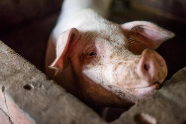 Hết heo, Trung Quốc tung thịt cừu đông lạnh ra bán