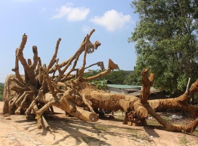 3 cây 'khủng' bị giữ ở Huế giờ ra sao?