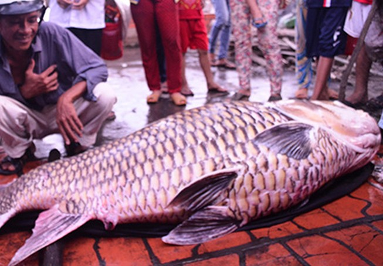 Bắt được cá hô nặng 130kg trên sông Mỹ An