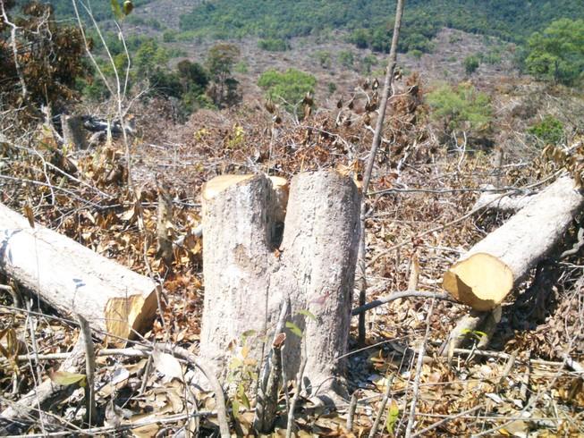 Xem xét khởi tố vụ án phá 110 ha rừng ở Phú Yên