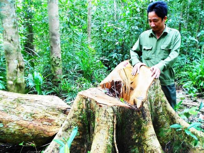 Khởi tố vụ chặt 13 cây gỗ quý trong rừng phòng hộ