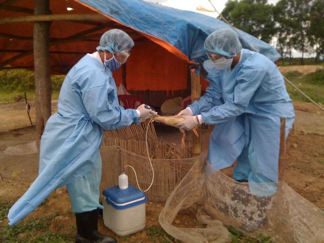 Phòng chống cúm gia cầm lây sang người