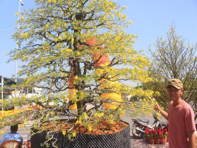 Chiêm ngưỡng cây mai cổ thụ 100 tuổi được chào bán 1,5 tỉ đồng