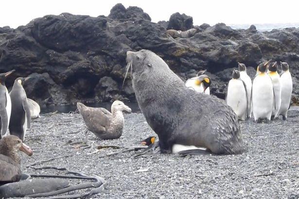 Hải cẩu bỗng dưng 'yêu' chim cánh cụt - ảnh 1