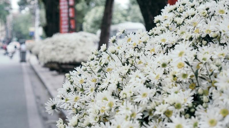 Chỉ còn ít ngày nữa thôi là mùa hoa này lại kết thúc. Và người dân thủ đô lại tiếp tục mong chờ đến mùa cúc hoạ mi năm sau.