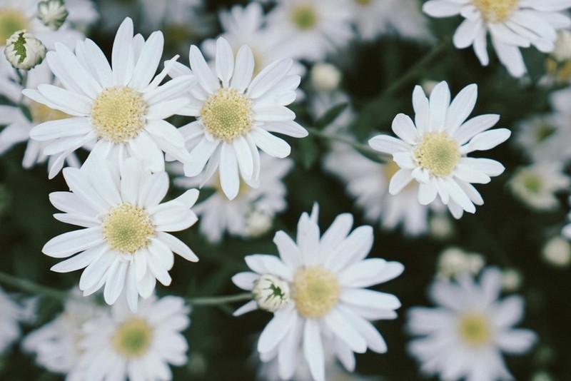 Cúc hoạ mi là loài hoa cúc nhỏ, nhị vàng, cánh trắng muốt.
