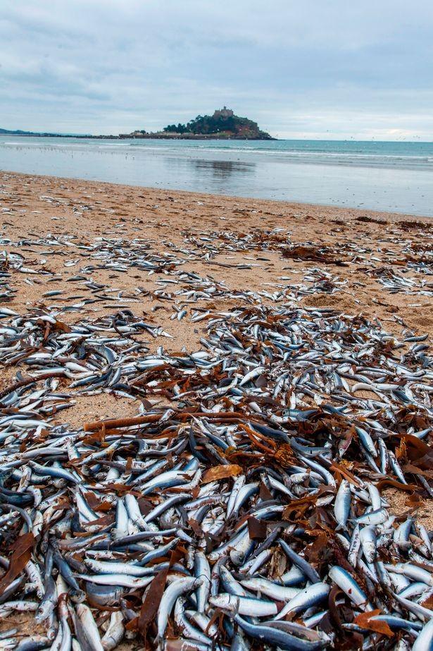Cá chết hàng loạt dạt vào bãi biển nước Anh - ảnh 2