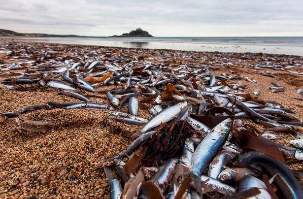 Cá chết hàng loạt dạt vào bãi biển nước Anh - ảnh 3