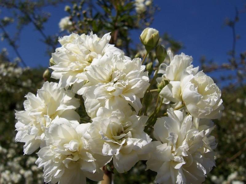 Chiêm ngưỡng cây hoa hồng khổng lồ, tán rộng 800m2 - ảnh 4