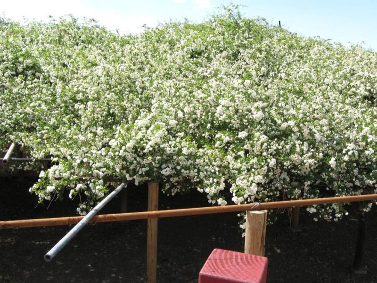 Chiêm ngưỡng cây hoa hồng khổng lồ, tán rộng 800m2 - ảnh 2