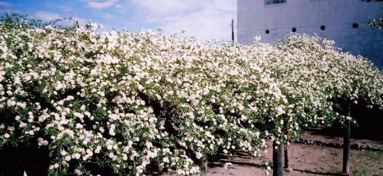 Chiêm ngưỡng cây hoa hồng khổng lồ, tán rộng 800m2 - ảnh 3