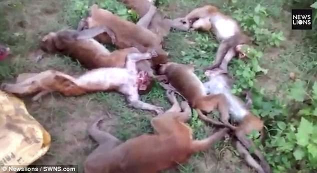 Gặp hổ, bầy khỉ chết vì nhồi máu cơ tim - ảnh 1