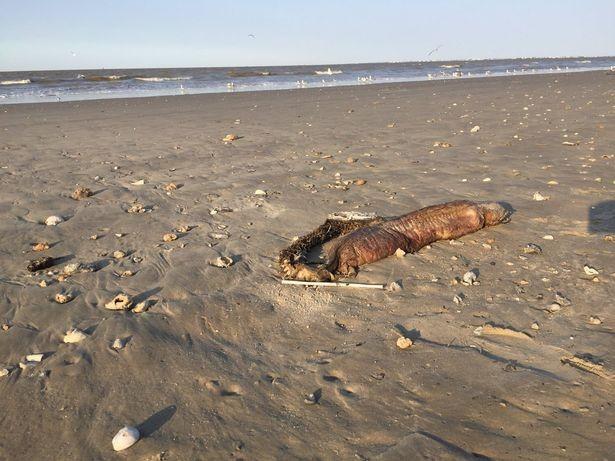 Sau siêu bão Harvey, phát hiện sinh vật biển kì dị - ảnh 3