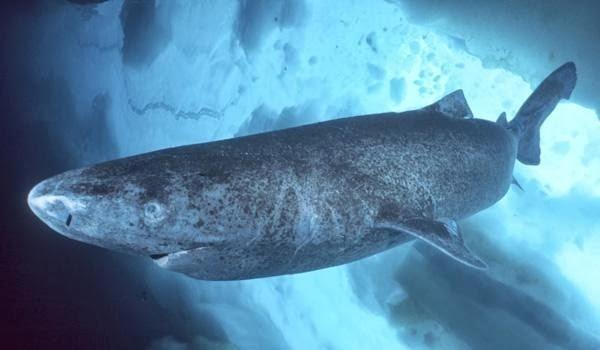 Bí ẩn loài cá mập sống thọ hơn 500 năm tuổi - ảnh 2