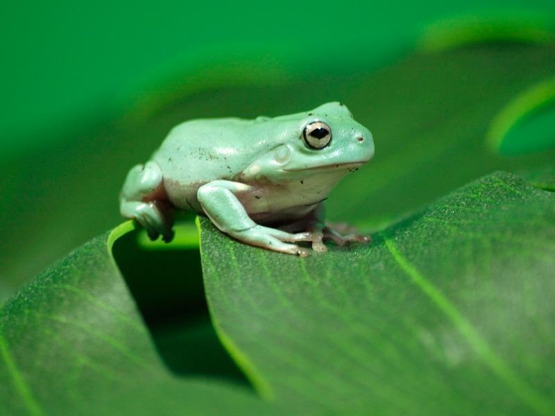Tưởng ếch là 'tiên dược', nuốt rồi nhiễm sán 13 cm - ảnh 1
