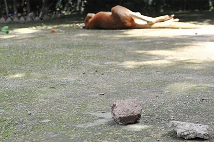 Du khách Trung Quốc ném đá làm chết kangaroo - ảnh 1