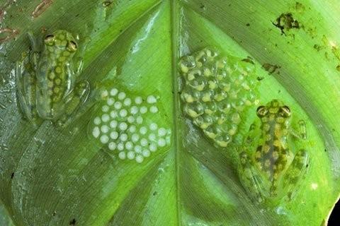 Kì lạ loài ếch trong suốt như thủy tinh - ảnh 4