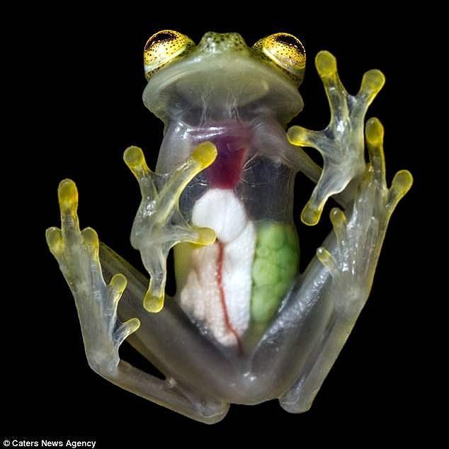 Kì lạ loài ếch trong suốt như thủy tinh - ảnh 1