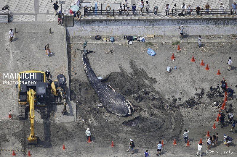Cá voi xanh lần đầu tiên xuất hiện tại Nhật Bản - ảnh 1