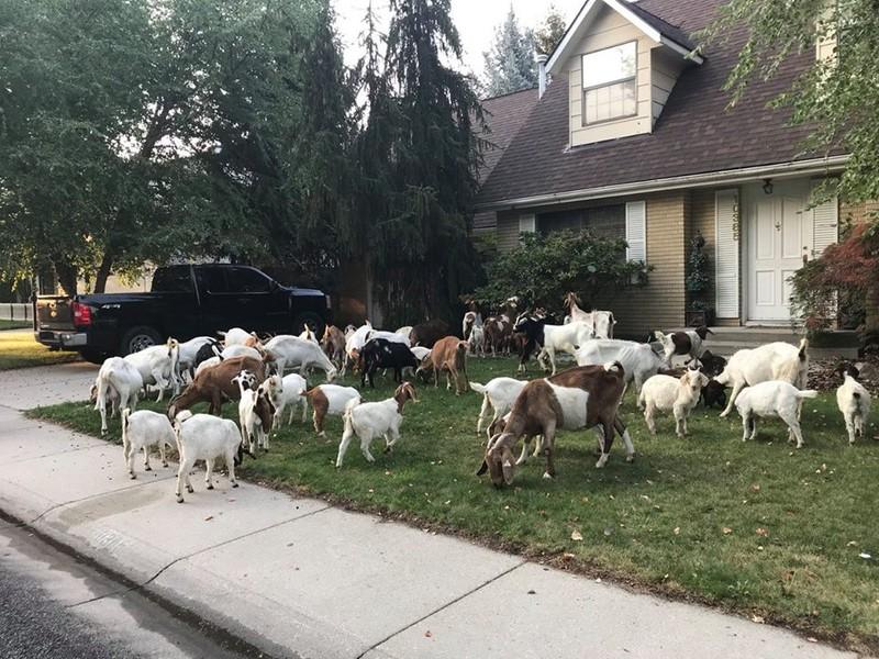 Sáng tỉnh dậy thấy…trăm con dê lạ trước cửa nhà - ảnh 2