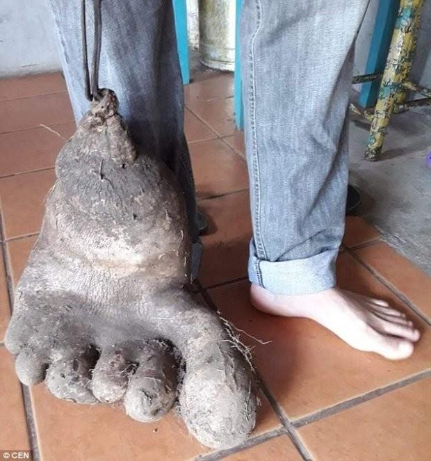 Lạ lùng củ khoai tây 8 kg, y hệt bàn chân người khổng lồ  - ảnh 1