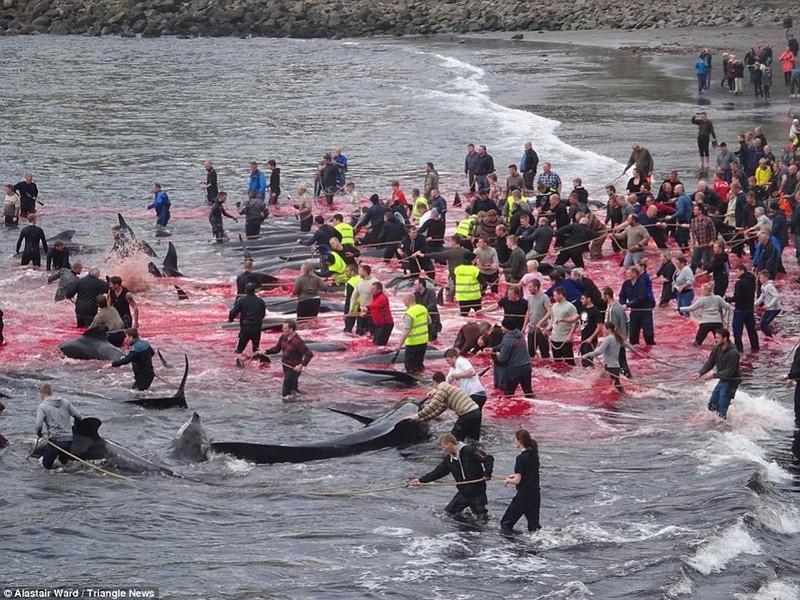 Kinh hoàng tập tục giết thịt cá voi - ảnh 1