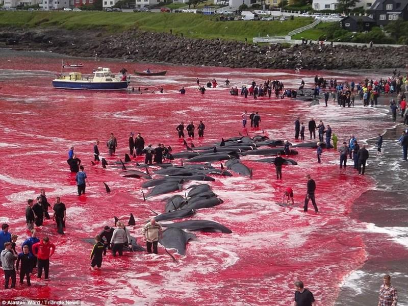 Kinh hoàng tập tục giết thịt cá voi - ảnh 3