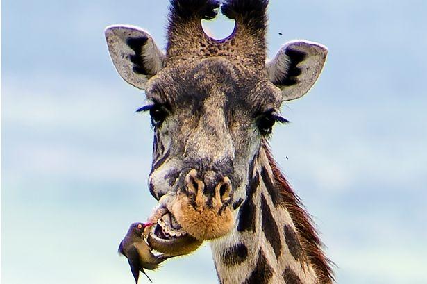 Hươu cao cổ chải răng như thế nào? - ảnh 1