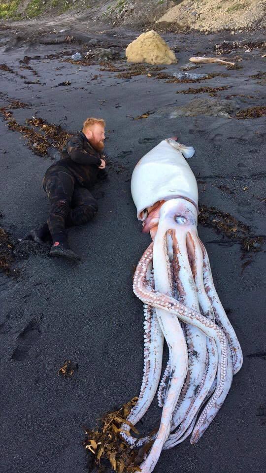 Mực khổng lồ bất ngờ dạt vào bờ biển New Zealand - ảnh 1