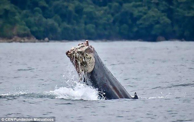 Chú cá voi sống sót kỳ diệu sau khi mất cả chiếc đuôi - ảnh 1