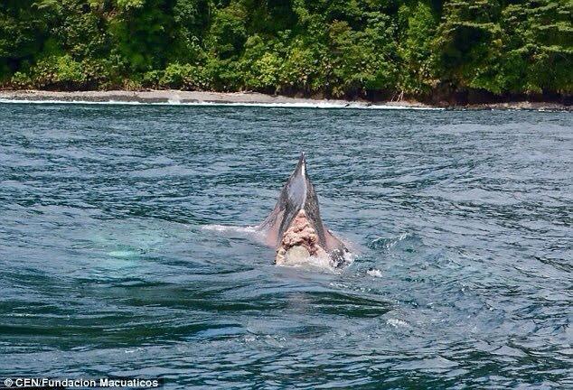 Chú cá voi sống sót kỳ diệu sau khi mất cả chiếc đuôi - ảnh 2