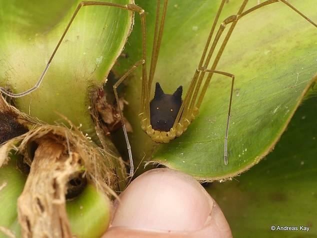 Phát hiện loài nhện đầu chó kỳ dị - ảnh 3