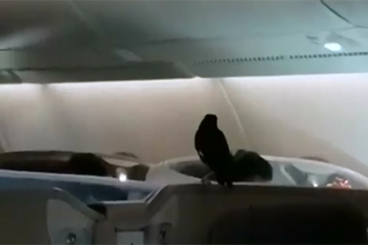 Máy bay náo loạn vì chim sáo 'đi lậu' máy bay - ảnh 1