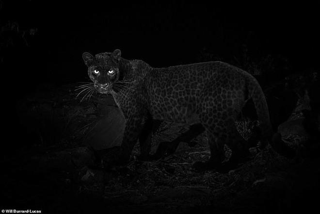 Phát hiện loài báo 100 năm mới ló dạng ở châu Phi - ảnh 2