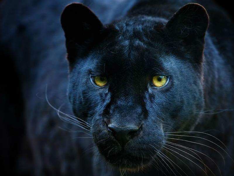 Phát hiện loài báo 100 năm mới ló dạng ở châu Phi - ảnh 1