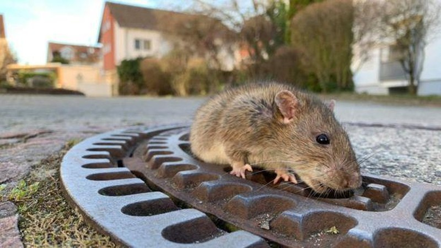 Huy động đội cứu hộ để giải cứu...chuột mắc kẹt nắp cống - ảnh 2