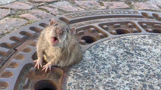 Huy động đội cứu hộ để giải cứu...chuột mắc kẹt nắp cống - ảnh 1