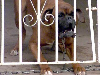 Để chó cắn chết người: Có thể lãnh 14 năm tù - ảnh 1